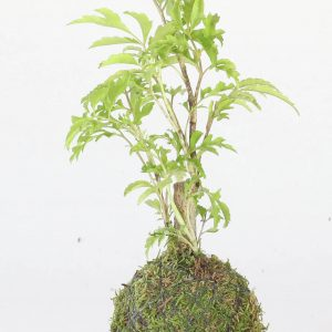 Kokedama avec un Polyscias Fruticosa 0.2