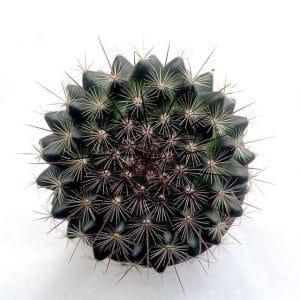 Lot Cactus en Pot  Ø5