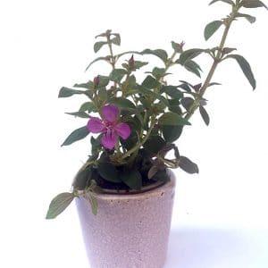 Plantes Fleuries Centradénia Violet