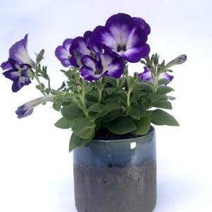 Plantes Fleuries Surfinia Violet et Blanc