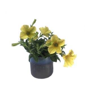 Plantes Fleuries Surfinia Jaune