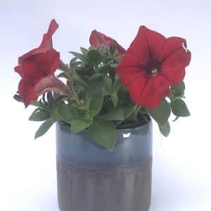 Plantes Fleuries Surfinia Petunia Rouge