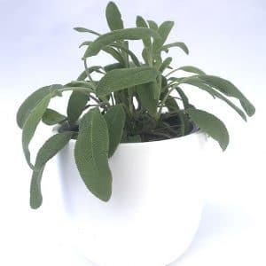 Plantes Aromatiques Sauge  Ø 12,5