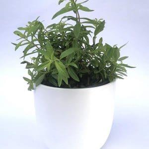 Plantes Aromatiques Verveine  Ø 12,5