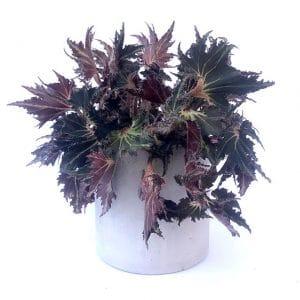 Plantes Begonia Heracleifolia
