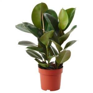 Caoutchouc (Ficus elastica) 0.5