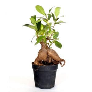 Ficus GINSENG