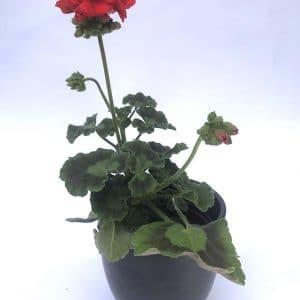 Plantes Geranium Rouge Ø 8
