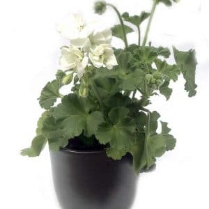 Plantes Geranium Blanc Ø 8 (Copie)