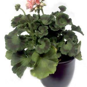 Plantes Geranium Corail Ø 8