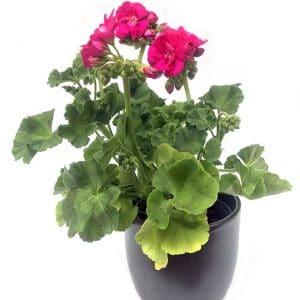 Plantes Geranium Fushia Ø 8