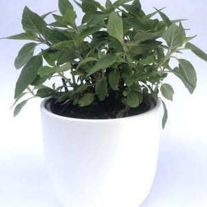 Plantes Aromatiques Sauge Ananas Ø 12,5