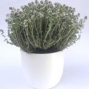 Plantes Aromatiques Thym  Ø 12,5