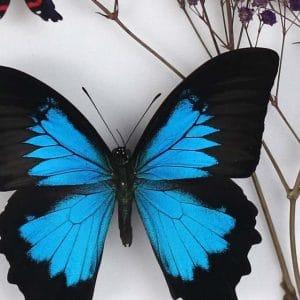 Papillon Papilio Ulysses et Gypsophilie Violet 26X39