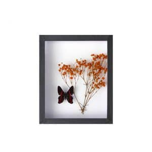 Papillon Ancyluris avec Gypsophile Orange H18 x H15