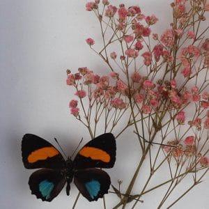 Papillon Callicore Cynosura et Gypsophile rose H18 x H15