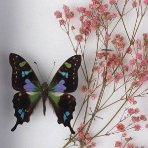 Papillon Graphium Weiskei et Gypsophile Rose H18 x H15
