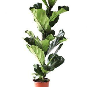 Ficus Lyrata H60-Ø19