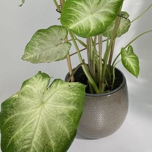 Caladium « White Delight »  et son cache pot gris Ø18