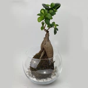 Kokedama Globe Ø20 avec un Ficus Ginseng