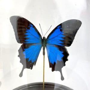 Papillon Papilio Ulysses Cloche