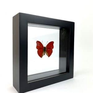 Papillon Sangaris en Cadre 15×15