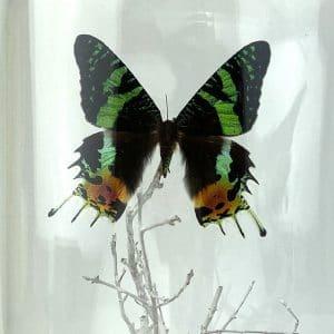 Papillon Vert en Cloche