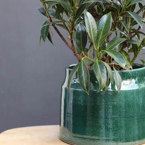 Ficus H35 et son cache serax vert  Ø H