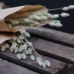 Phalaris Graminée Fleurs séchées