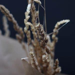 Pharalis Arundarundinacea Graminée Fleurs séchées