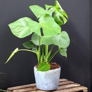 Monstera H62 et son cache pot Serax bleu clair Ø16 H16