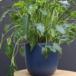 Philodendron H30 et son cache pot   Ø H