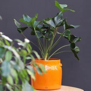 Philodendron H30 et son cache pot serax jaune  Ø20 H24