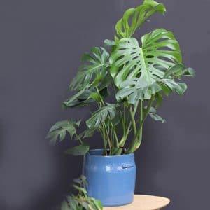 Philodendron H130 et son cache pot serax bleu  Ø H