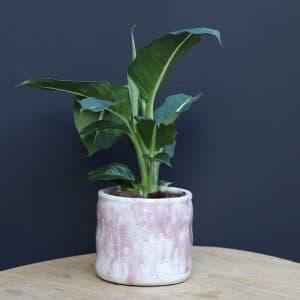 Plante H20 et son cache pot serax rose Ø15 H15