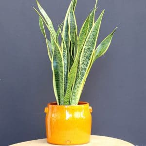 Sansevieria H40 et son cache pot orange Serax Ø17.5 H19