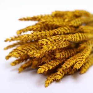 Tarwe yellow fleurs séchées